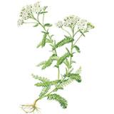 Achillea-millefolium-L