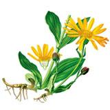 Arnica_montana_Flora-von-Deutschland-Österreich-und-der-Schweiz-(1885)
